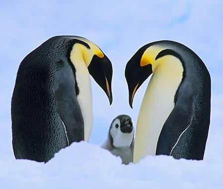Как пингвины узнают своих детей