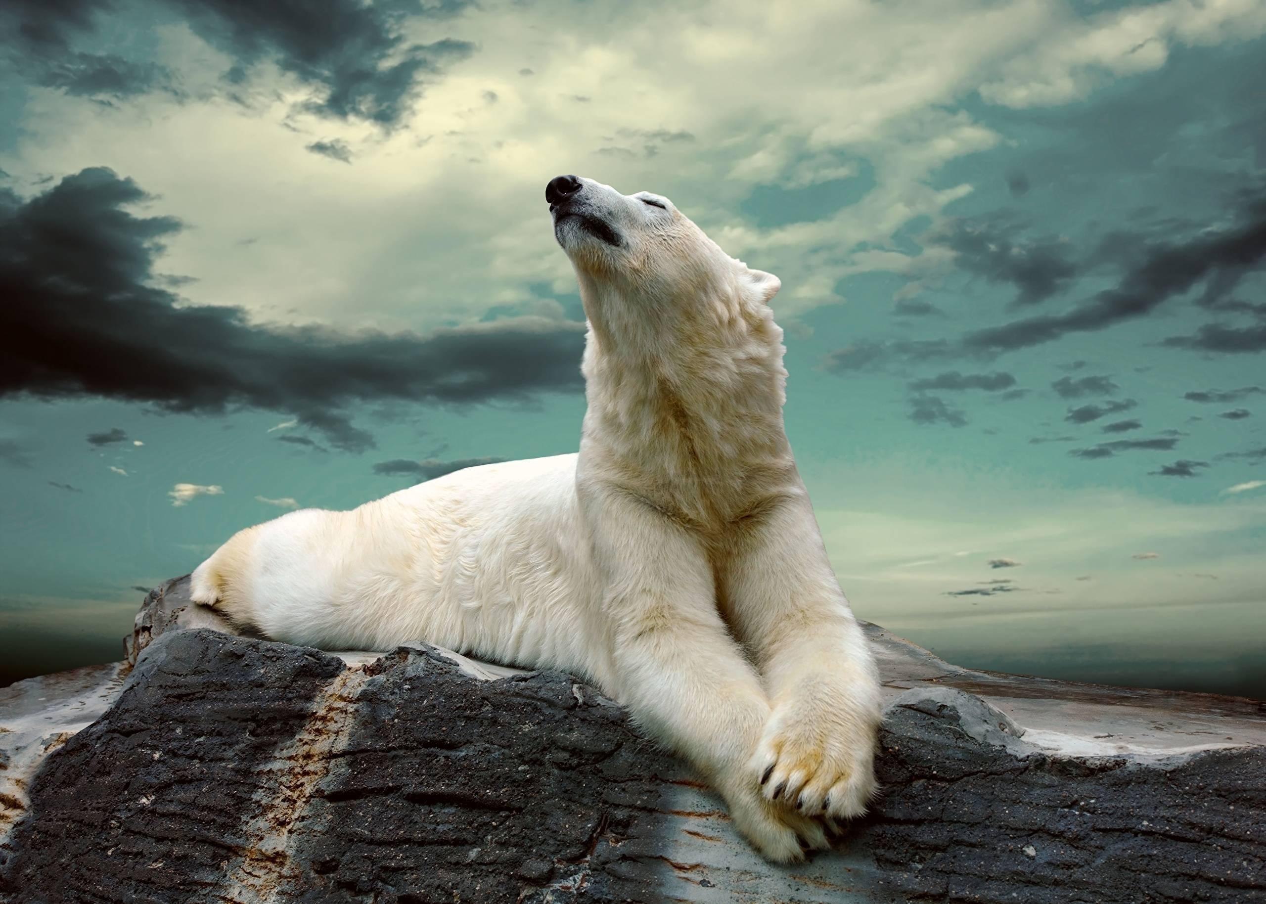 На кого охотятся белые медведи