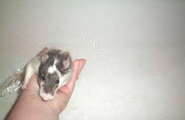 Все про крыс домашних