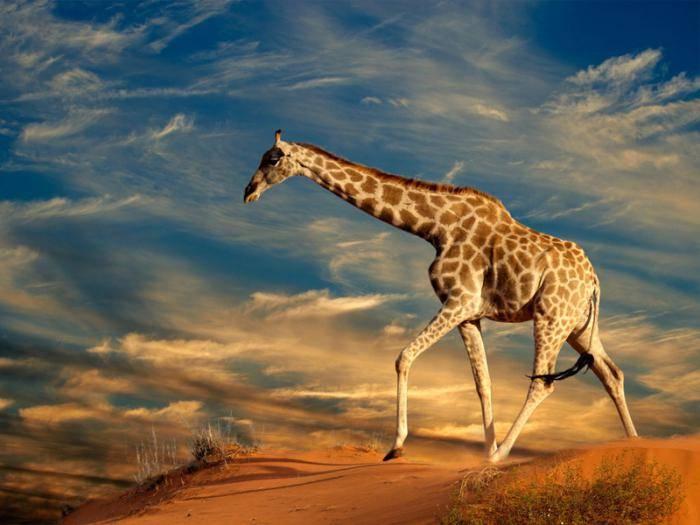 Сколько весит жираф в среднем