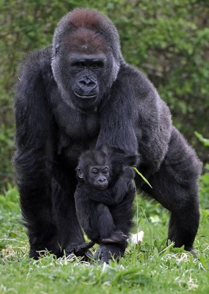 Где обитают гориллы