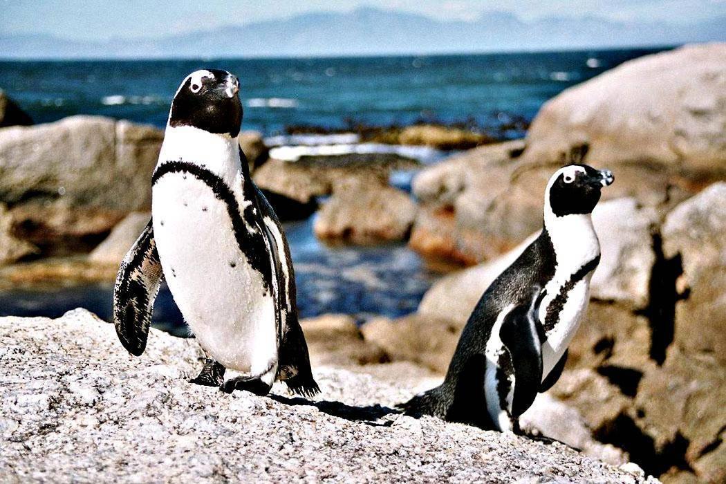 Пингвины рост и вес