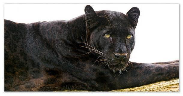 Краткая информация о леопарде