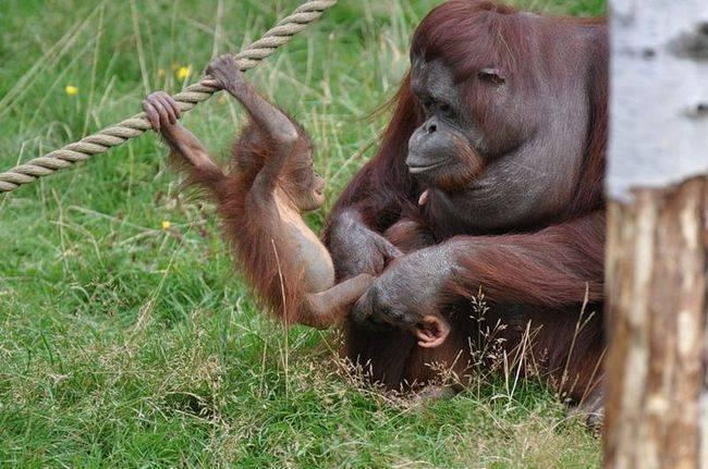 Орангутан или орангутанг как правильно