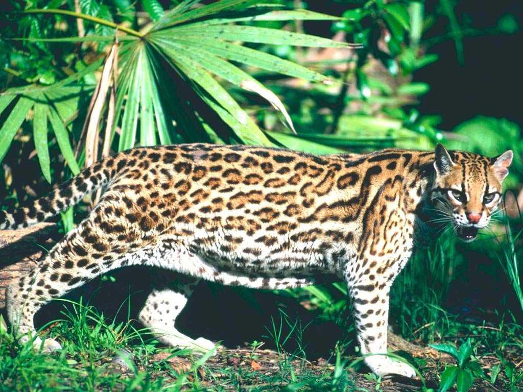 Топ 10 самых больших кошек в мире