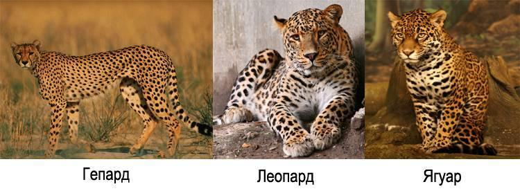 Кто быстрее ягуар или гепард
