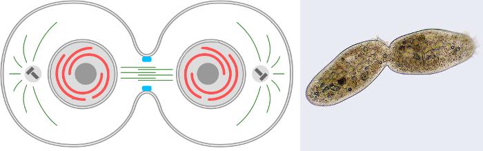 Сколько дочерних клеток образуется при митозе