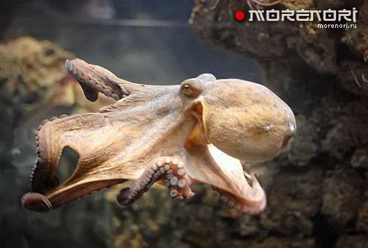 Осьминог это рыба или животное