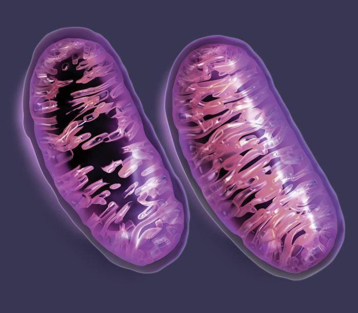Какую функцию в клетке выполняют митохондрии