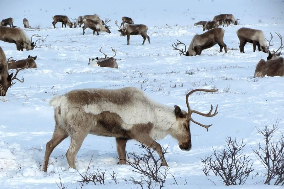 Где обитают олени в россии