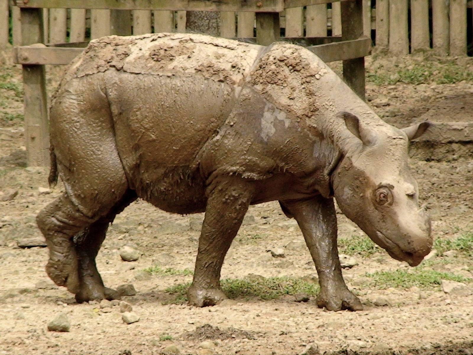 Носорог описание
