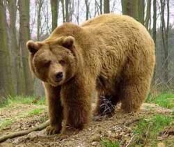 Медведь в сибири