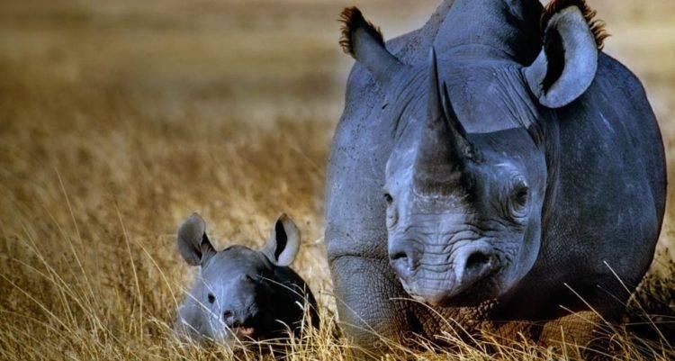 Носорог это хищное животное