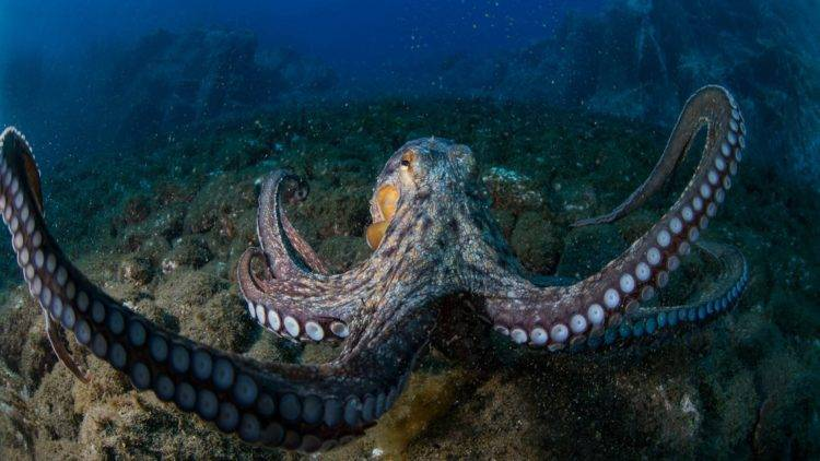 Какие бывают осьминоги