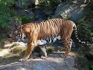 Где обитают тигры в мире