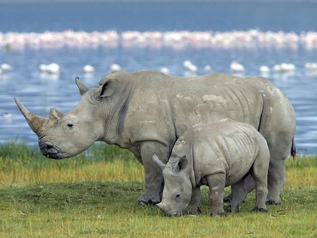 Сколько лет живут носороги