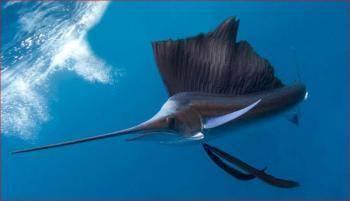 Самая быстрая рыба в океане