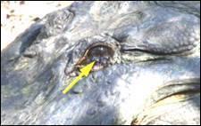 Черепаха крокодил