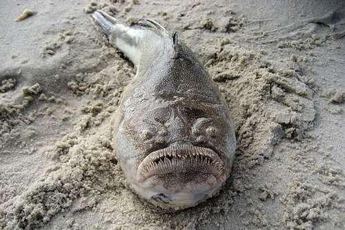 Тупая рыба