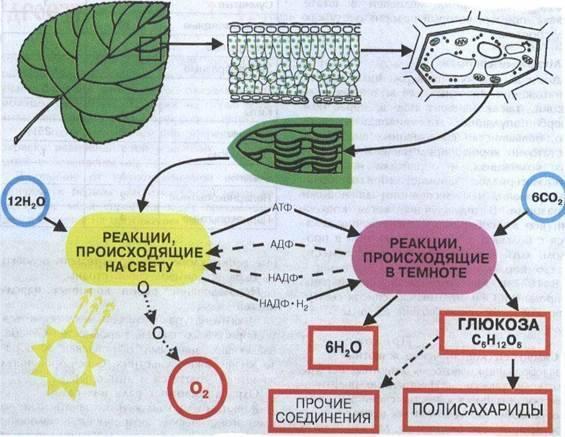 Планетарная роль фотосинтеза