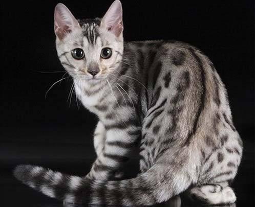 Леопардовый кот порода