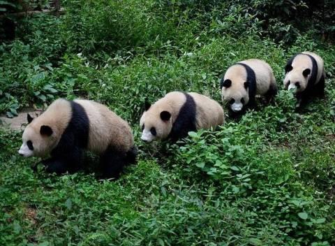 Умеет ли панда плавать