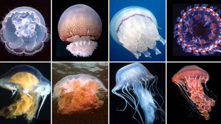 Жизненный цикл сцифоидных медуз