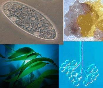 Запасной углевод протистов