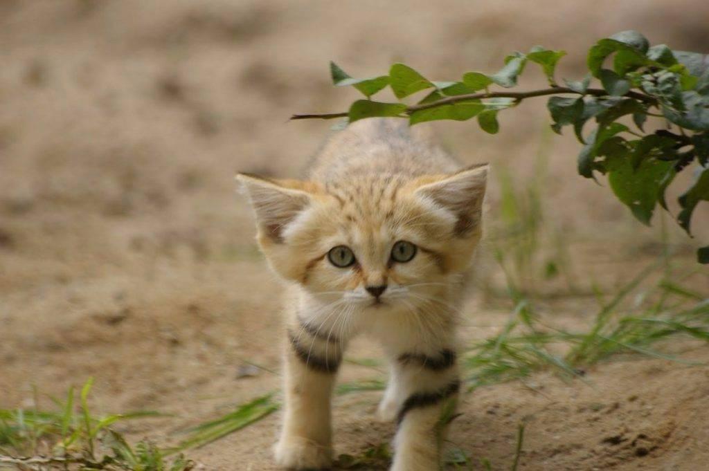 Песчаный кот фото