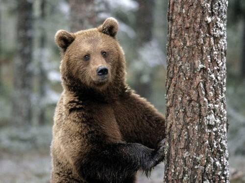 Где водятся медведи в россии карта