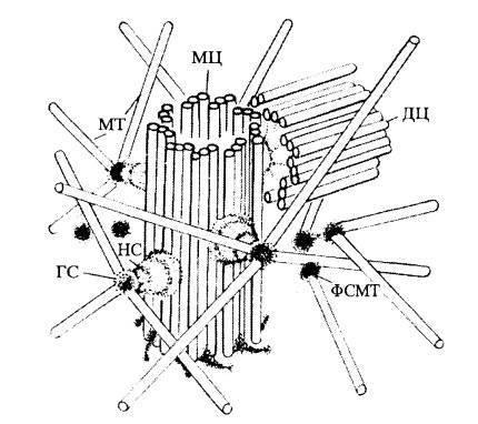 Клеточный центр центриоли