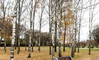 Сочинение про березу осенью