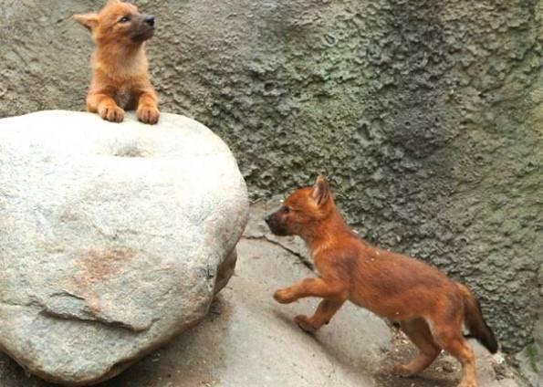 Сколько осталось красных волков в мире