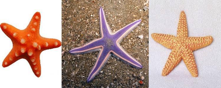 Как выглядит морская звезда