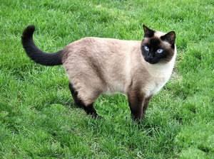 Характер тайских котов