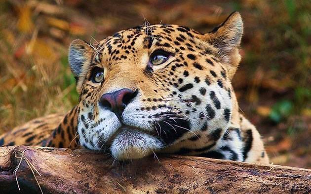 Леопарды в россии