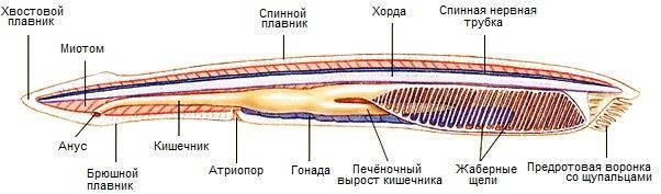 Какая полость тела характерна для хордовых
