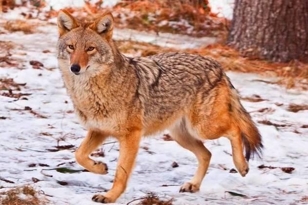 Красный волк интересные факты