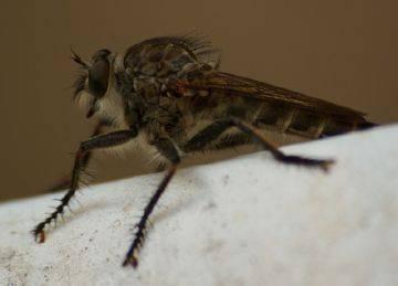 Описание мухи