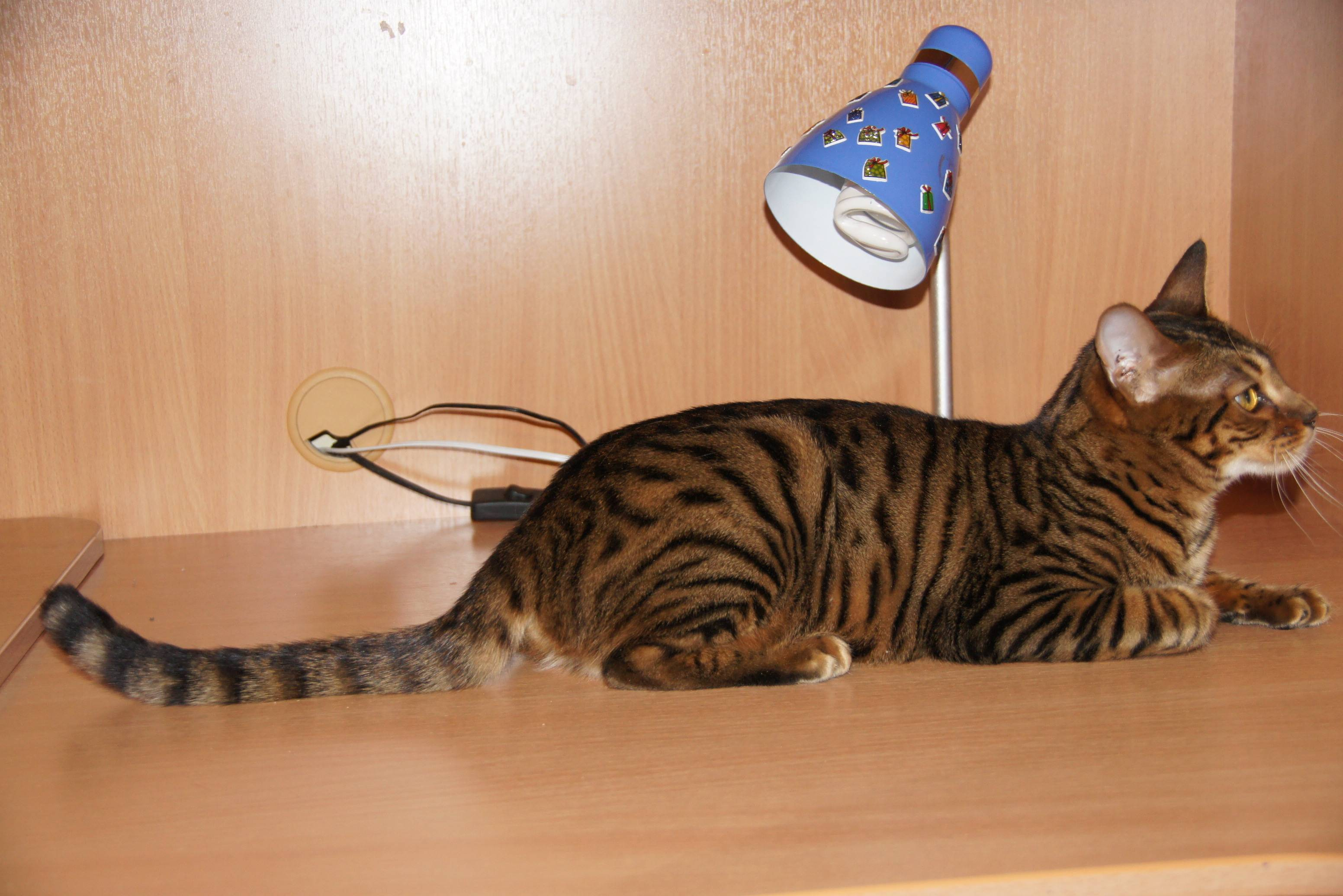 Тигр и кошка фото