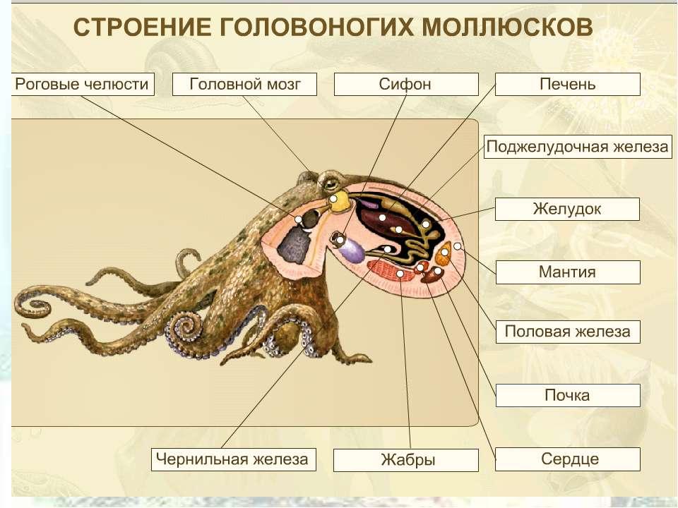 Мозг осьминога
