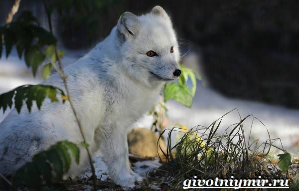 Песец это лиса