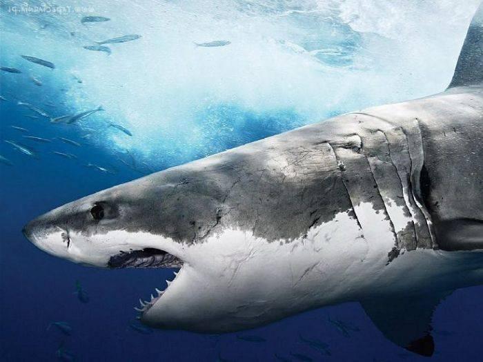 Где обитает белая акула