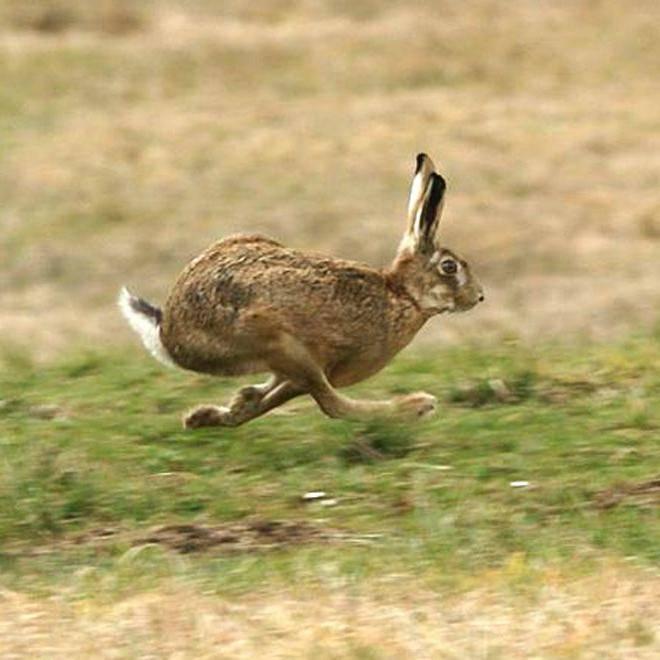 С какой скоростью бежит заяц