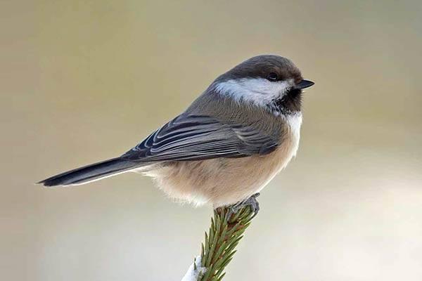 Синичка небольшая птичка