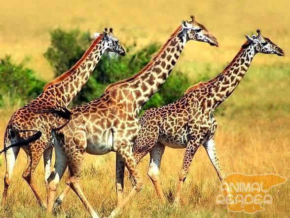 Высота жирафа включая шею и голову