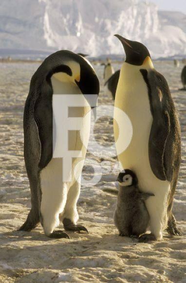 Самый большой пингвин в мире
