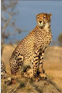 Максимальная скорость гепарда в игре горячо холодно