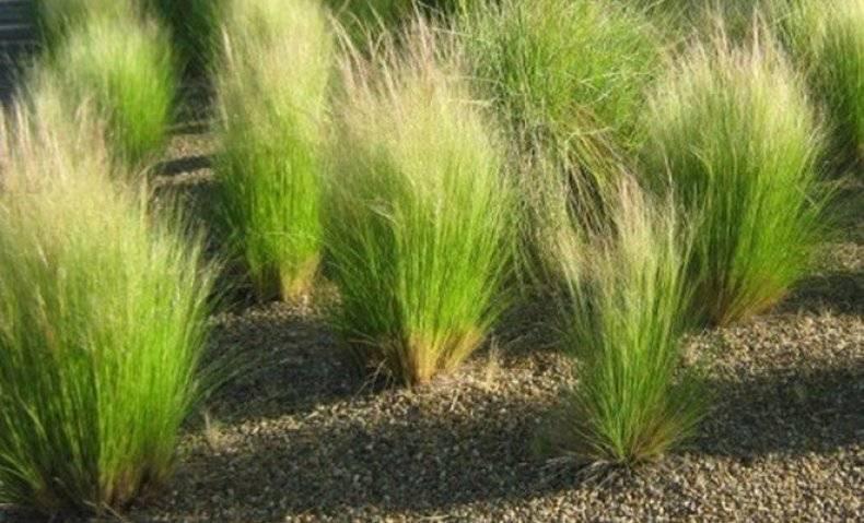 Растение степной зоны ковыль