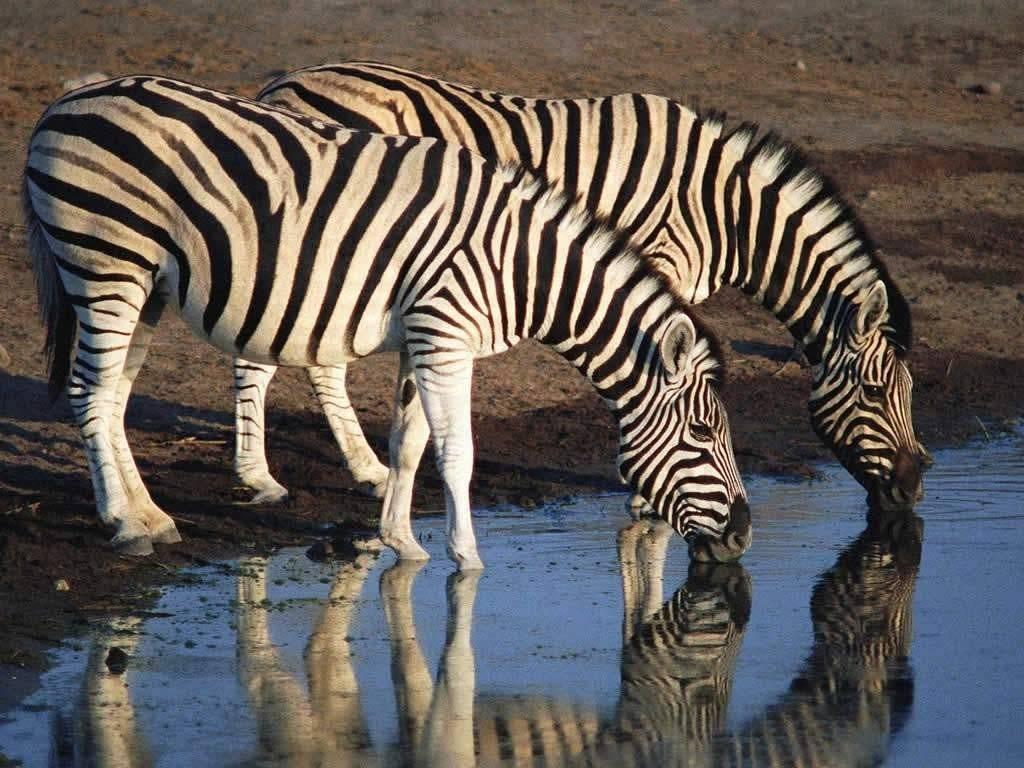 Зебра парнокопытное или нет